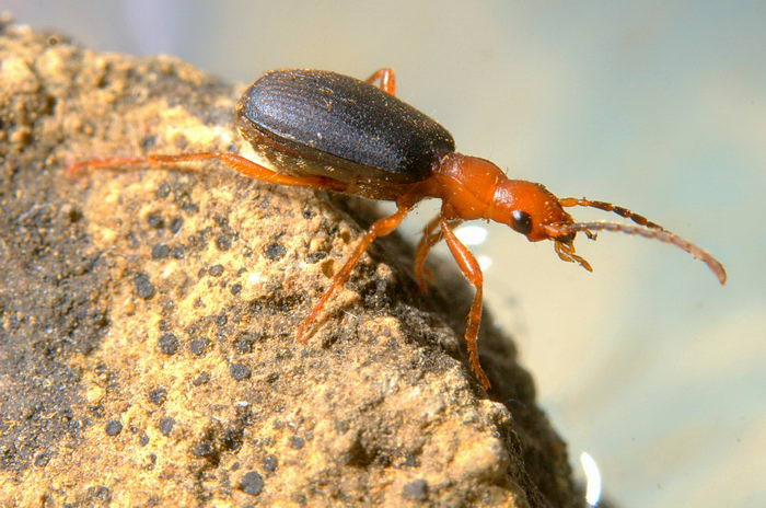 Жук бомбардир (Brachinus crepitans)